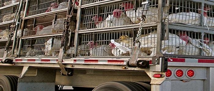 Từng loại gia súc gia cầm khác nhau sẽ có yêu cầu vận chuyển không giống nhau